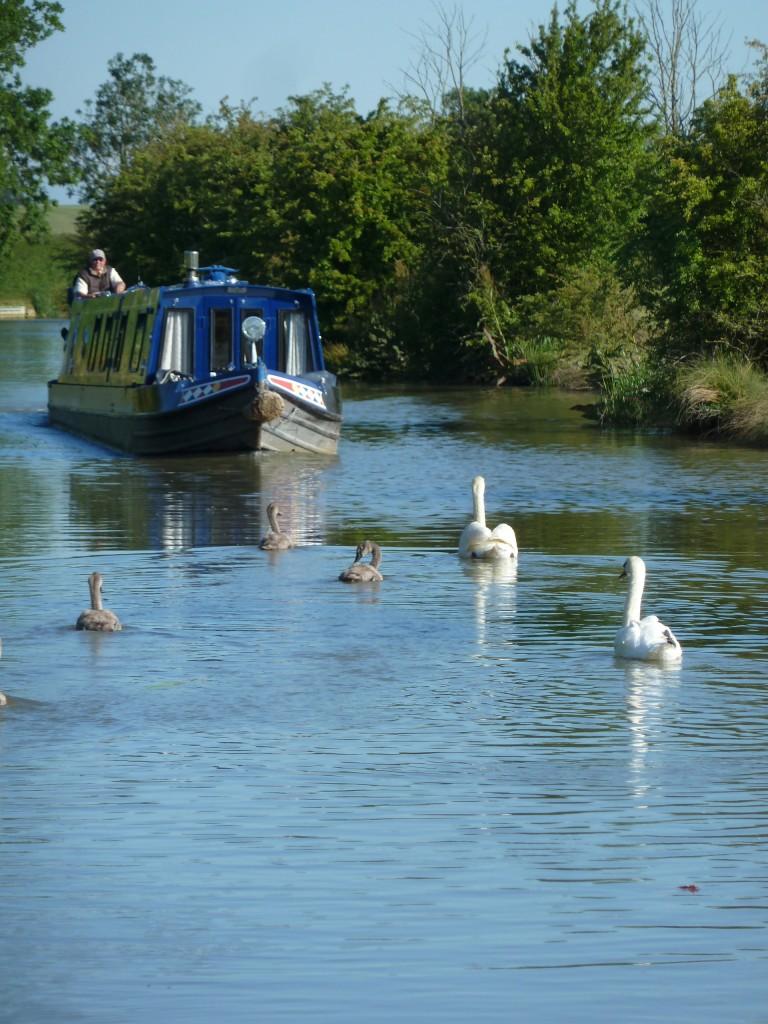 Swans invading