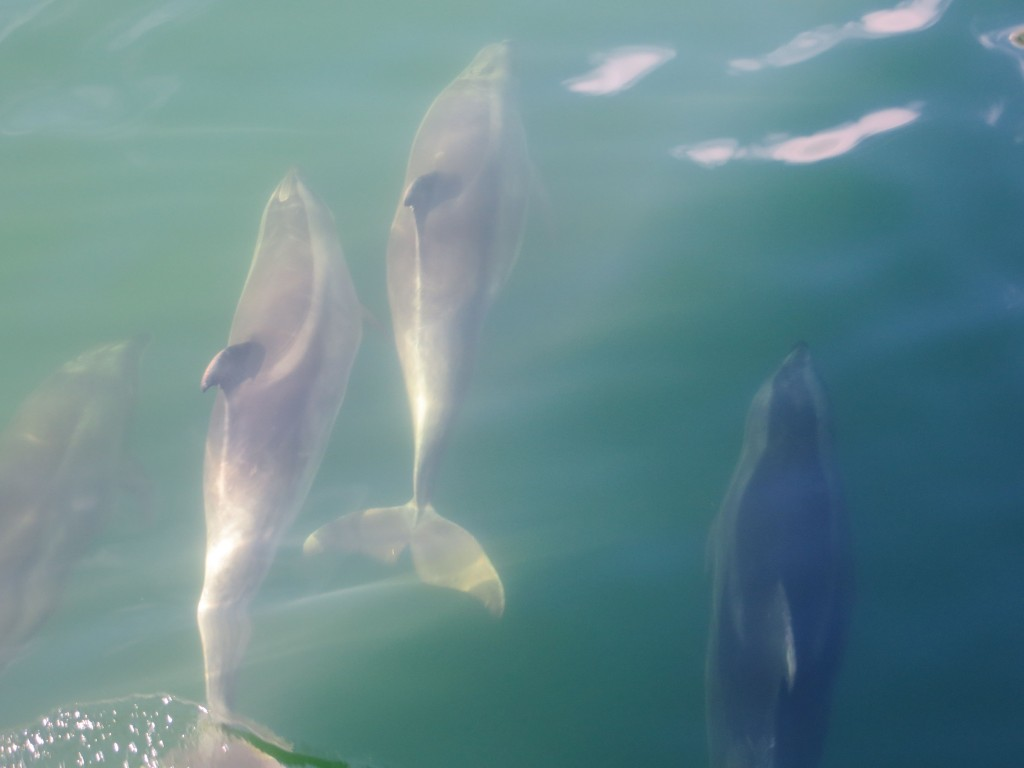 Dolphins in the Sound.