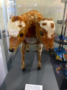 Two-headed cow.
