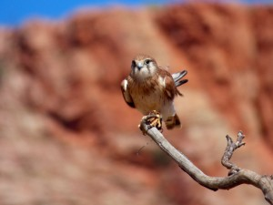 Kestrel in Alice Springs.
