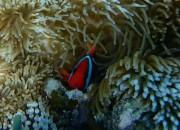 Clown fish peaking.